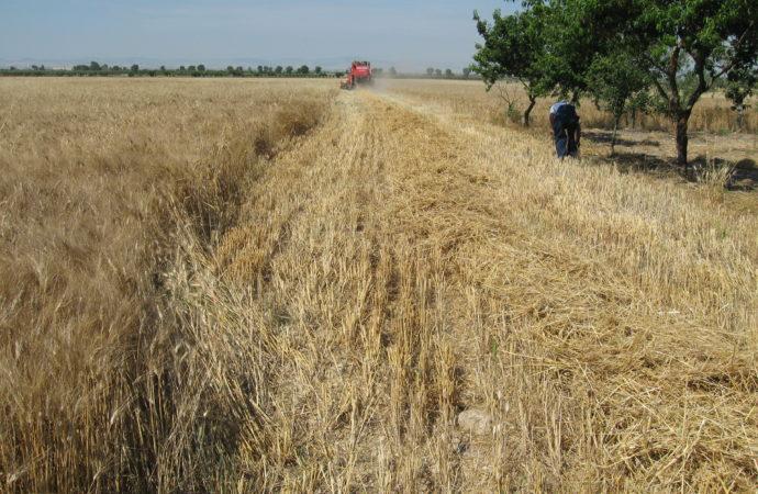 grano-campo-690x450 Coldiretti: perso 1 campo di grano su 5
